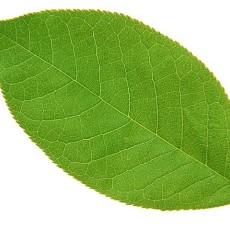 树叶图片贰柒