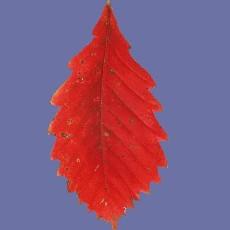 树叶图片贴图