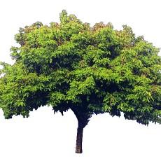 单棵树图片材质贴图贰伍零