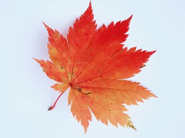 树叶图片肆陆