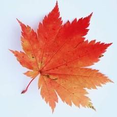 树叶图片肆