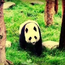 大熊猫图片_大熊猫图片免费下载