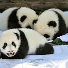 大熊猫图片_大熊猫图片大全下载