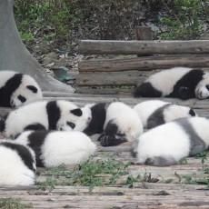 小熊猫图片大全免费下载
