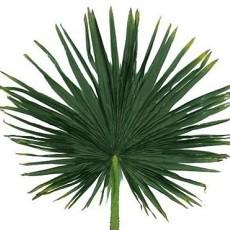 棕榈树叶【23787】