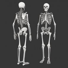 人体骨骼3d模型下载
